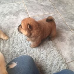 Superb chow chow characters puppies - Las Piñas City - free