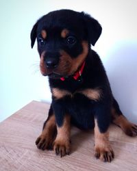 quality Rottweiler puppies - Quezon City - free classifieds in