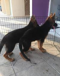 German shepherd puppies for sale - Caloocan - free