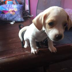 Puppies For Sale Taguig Free Classifieds In Philippines