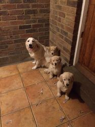 Gorgeous Golden Retriever Puppies Cebu City Free Classifieds In