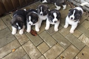 Pure Akita Puppies Koronadal City Free Classifieds In Philippines