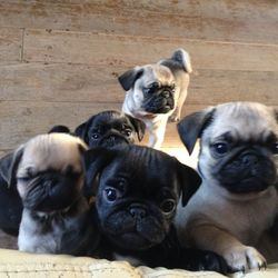 Home Raised Pug Puppies For Las