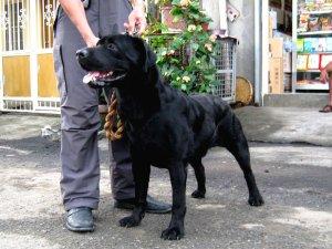 Labrador Retriever Stud Black Santo Tomas Free Classifieds In Philippines