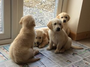 Pedigree Golden Retriever Pups Abucay Free Classifieds In