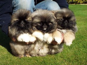 Kc Registered Pekingese Puppies For Sale Cebu City Free