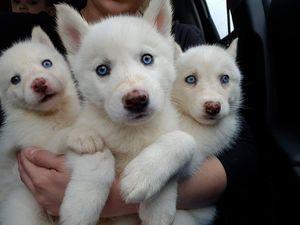 Pure bred White Siberian Husky Pups - Cebu City - free