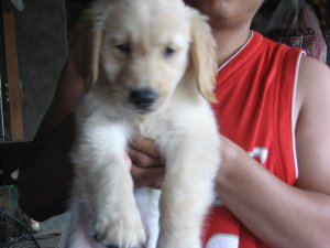 Female Golden Retriever Puppy San Pedro Free Classifieds In Philippines