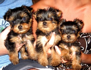 Cute Teacup Yorkie puppies for sale - Manila - free