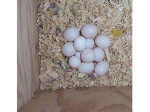 Parrots And Fertile Parrot Eggs For Sale - Dinalupihan