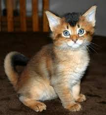 Somali Cats And Kittens For Sale Manila Free Classifieds In Philippines