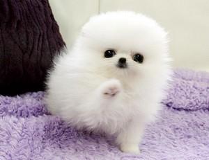 Teacup Pomeranian Puppies for sale - Quezon City - free