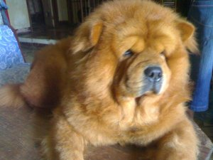 Chow Chow Dog For Sale Philippines